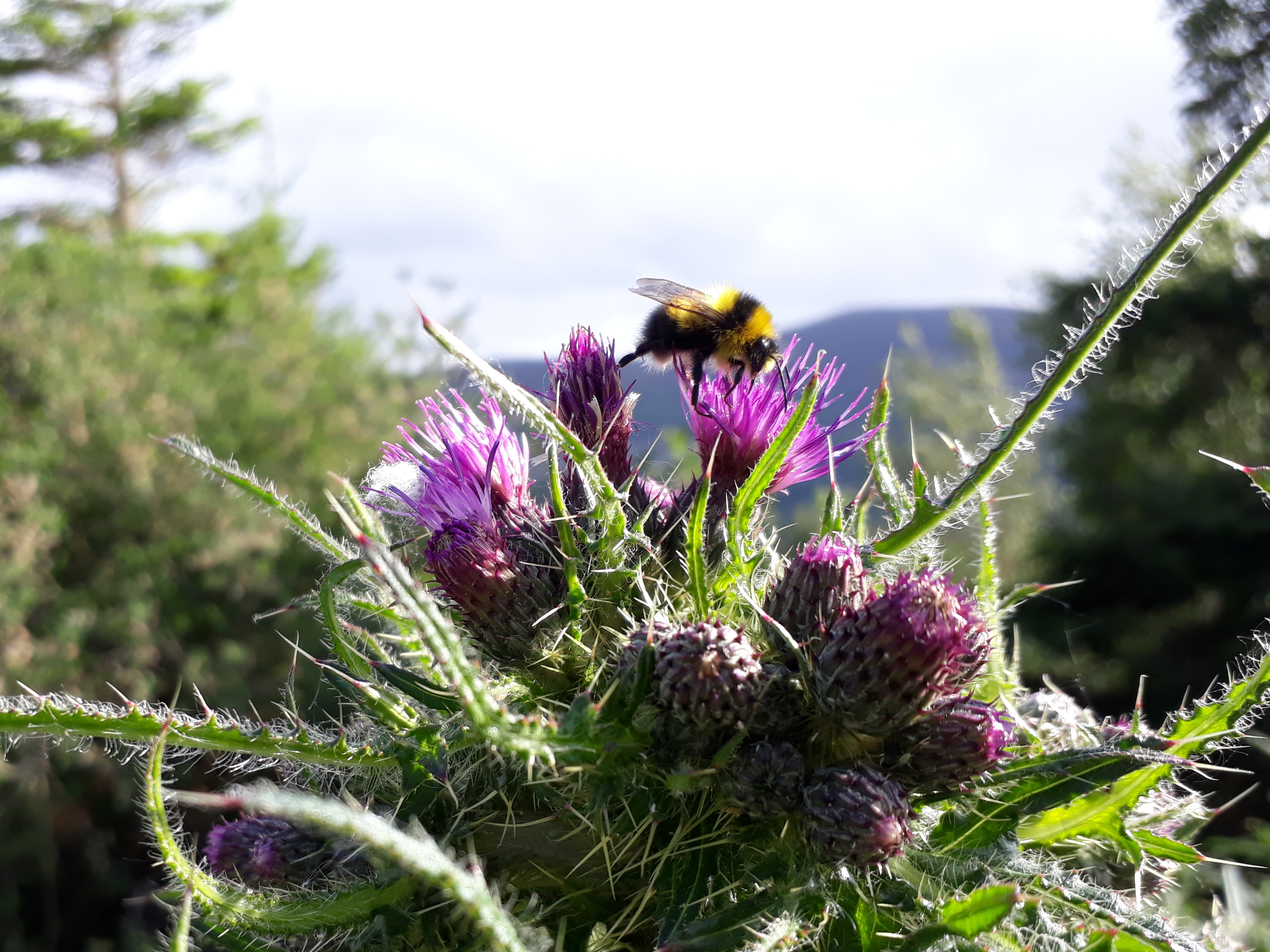beethistle.jpg